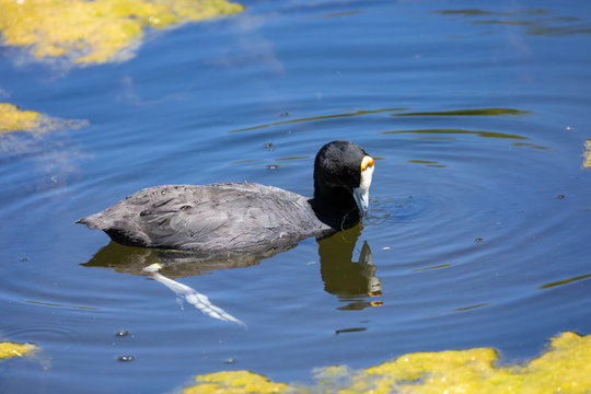 Non-breeding Red-knobbed Coot (Fulica cristata) foraging in the Leidam, Monatgu, Western Cape, South Africa