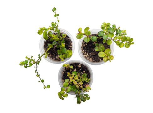 dichondra sprout three cans transparent beautiful shape