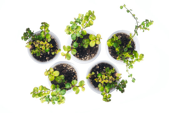 dichondra sprout five cans transparent beautiful shape