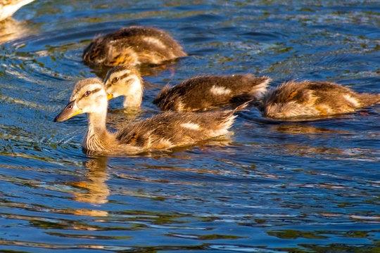 Ducklings Swimming, Bird watching natural habitat, Royalty free stock image, Spring chicks, Best duck photos