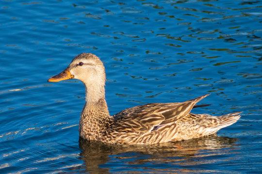 Swimming mother duck, Royalty free stock image, best duck photo, Natural habitat, Bird watching, Wild duck