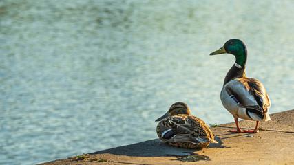 Fototapeta Kolorowe kaczki nad brzegiem rzeki obraz