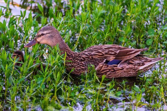 Mother duck with ducklings Swimming, Mother duck with young, Bird watching natural habitat, Royalty free stock image, Spring chicks, Best duck photos
