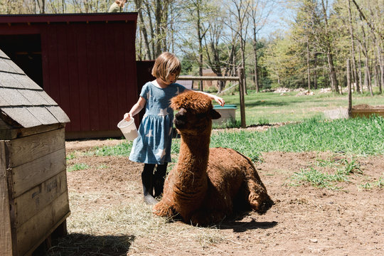 stock photo of little girl playing with alpacas