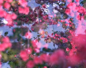 Surreal Pink Azalea Flowers