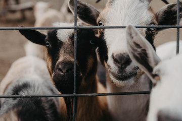A group of curious goats at a farm