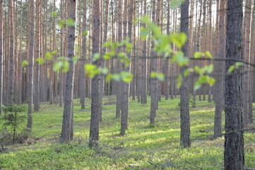 Photo sur Aluminium Olive Popołudnie w lesie