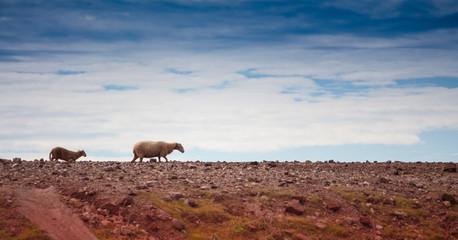 oveja paseando por el cami de cavalls en menorca