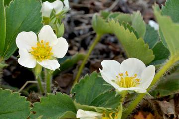 Obraz kwiat truskawki - fototapety do salonu