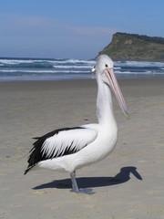 Pelikan am Meer