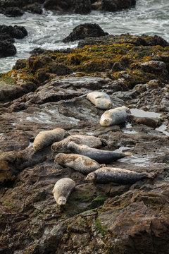 Seals on a Rock