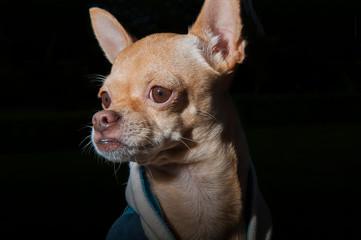 Chihuahua retrato Fotobehang