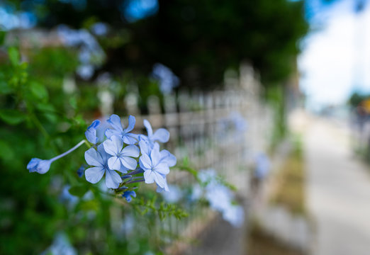 A closeup of a patch of light blue wildflowers grow near a weathered iron fence in the spring in an east Austin neighborhood