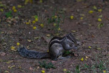Indian palm squirrel in the garden eating seeds in Sagar, Madhya Pradesh, India