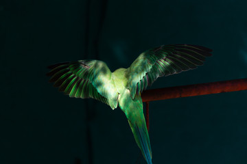 View of the wings of an indian ring neck parrot illuminated in the sun in Sagar, Madhya Pradesh, India