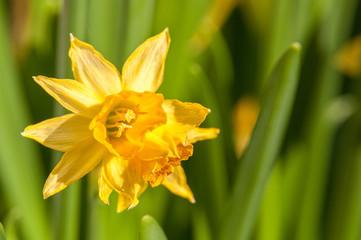 lekko zwiędnięty kwiat żonkil lub narcyz