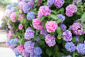 Fotomurales - Beautiful hydrangea flowers. Pink, blue, lilac, violet, purple bushes blooming in spring and summer in town street garden at sunset.