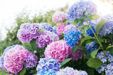 Fotomurales - Hydrangea flowers garden. Pink, blue, lilac, violet, purple bushes blossom in spring and summer in town street garden at sunset.