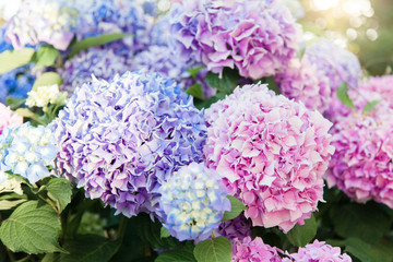 Fotomurales - Hydrangea flowers garden. Pink, blue, lilac, violet, purple bushes blooming in spring and summer in town street market.