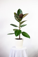 Rubber Fig (ficus elastica)