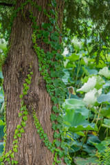 Ivy wraps around a thick tree trunk in summer