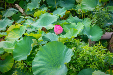 Pink lotus branches among green leaves large in Ueno Park