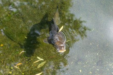 A large brown carp swims in the pond of Ueno Park