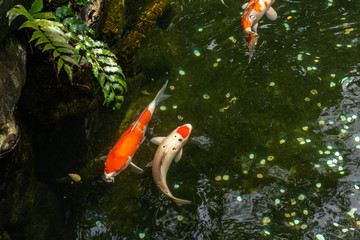 Multi-colored large carps swim in the pond of Ueno Park in Tokyo on a sunny day