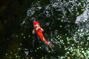 A large spotted red carp swims in the shady pond of Ueno Park in Tokyo on a clear sunny August day