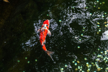 A large spotted red carp swims in the shady pond of Ueno Park in Tokyo on a sunny August day