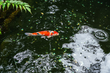 A large spotted red carp swims in a pond of Ueno Park in Tokyo on a clear sunny August day