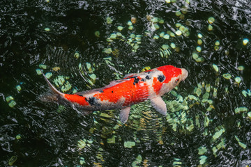 A large spotted red carp swims in the shady pond of Ueno Park on a clear sunny August day