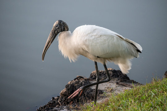 Portrait of a wood stork standing by a body of water