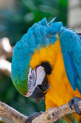 Poster Blue throated macaw Bird Park Bali Indonesia