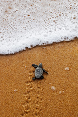 Hatchling newborn loggerhead sea turtle (caretta caretta) crawling on the sand to the sea after leaving the nest at the beach on Bahia coast, Brazil, with foamy wave, top view