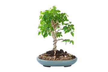 Foto auf Acrylglas Bonsai chinese Ligustrum bonsai over white