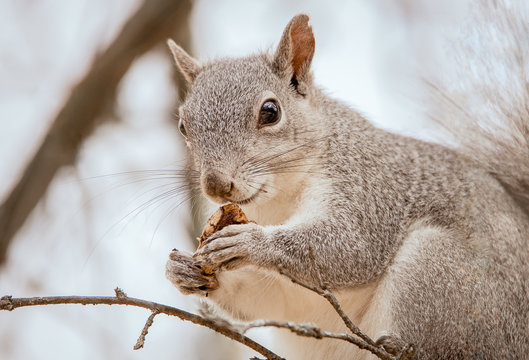 Cute close up of California western gray squirrel looking in camera