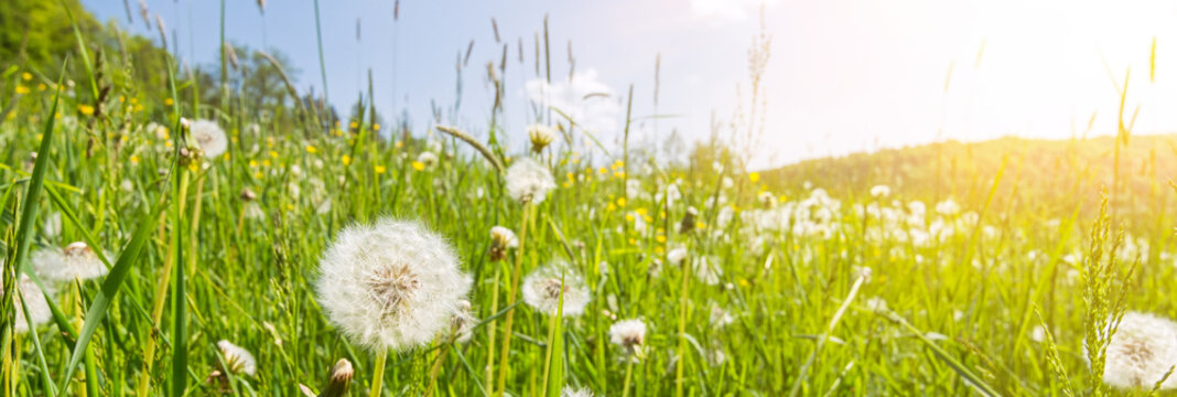 Idyllic flower meadow with blowball flowers, scenic sunbeams and lens flare