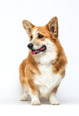 Fototapete - dog looking sideways on a white background