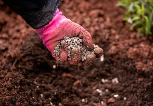 Gardener adding chicken manure pellets to soil ground for planting in garden