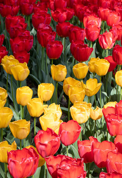 Red. Yellow. Tulips Flower. Nature. Garden. Flora