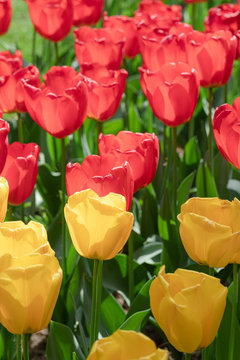 Red. Yellow. Tulip. Flowers. Nature. Garden. Flora