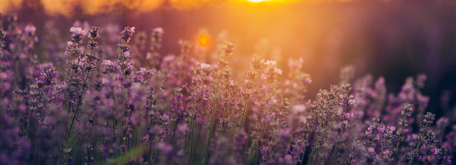 Wall Murals Universe Beautiful lavender fields at sunset.