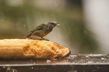 Tropical bird red-legged honeycreeper in the rain eating a banana, mielero patirojo