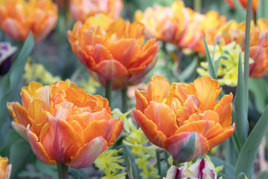 Orange. Tulips Flower. Nature. Garden. Flora