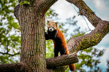 Aluminium Prints Panda red panda