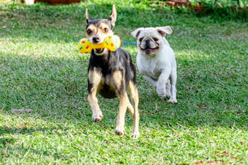 Pinscher and pug dog chasing each other on the grass, playing