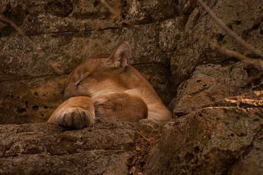 A Mountain Lion the Bergen County Zoo taking a nap. (Paramus, New Jersey)