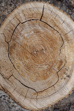 natural calm neutral background with annual rings on a tree cut, old poplar, trunk, large, close, cracks