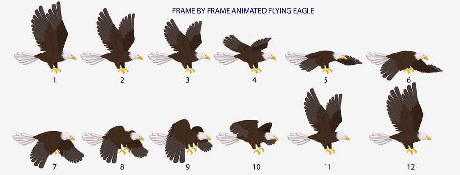 Eagle Fly Cycle, Frame By Frame Animated Flying Bald Eagle Vector Illustration for 2D Animation, Motiongraphics, Infographics